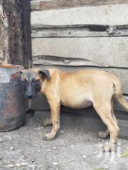 Young Male Mixed Breed Boerboel | Dogs & Puppies for sale in Kajiado, Ongata Rongai
