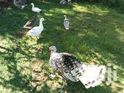 Turkeys For Sale | Livestock & Poultry for sale in Kisumu, Ahero