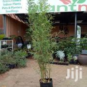 Bamboo Hedge At Asepsis Limited Stores | Feeds, Supplements & Seeds for sale in Nairobi, Roysambu