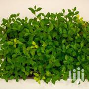 Green Duranta Hedge Seedlings At Asepsis Limited Stores | Feeds, Supplements & Seeds for sale in Nairobi, Roysambu