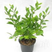Green Duranta Hedge Plant At Asepsis Limited Stores | Feeds, Supplements & Seeds for sale in Nairobi, Roysambu
