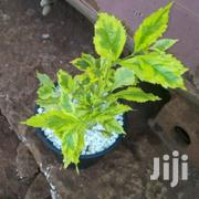 Duranta Hedge Plants Variegated - Asepsis Limited | Feeds, Supplements & Seeds for sale in Nairobi, Roysambu