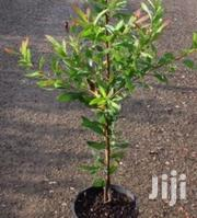 Hakea Salicifolia Hedge Plants At Asepsis Limited | Feeds, Supplements & Seeds for sale in Nairobi, Roysambu