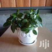 Tear Drop Peperomia Indoor Plant At Asepsis Limited | Feeds, Supplements & Seeds for sale in Nairobi, Roysambu