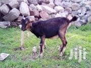 Female Goats For Sale | Livestock & Poultry for sale in Nairobi, Kahawa
