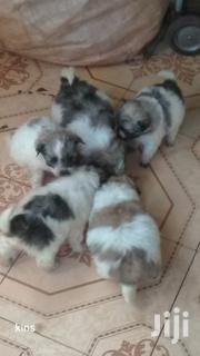 Young Male Purebred Chihuahua | Dogs & Puppies for sale in Nairobi, Nairobi Central