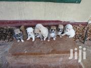 Baby Male Mixed Breed Japanese Spitz | Dogs & Puppies for sale in Kwale, Ukunda