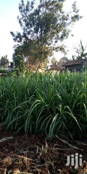 Napier Grass | Feeds, Supplements & Seeds for sale in Kiambu, Githunguri