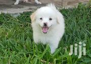 Baby Male Mixed Breed Japanese Spitz | Dogs & Puppies for sale in Mombasa, Bamburi