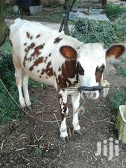 Dairy Cows /Heifers | Livestock & Poultry for sale in Kisumu, West Seme