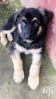 Baby Male Purebred German Shepherd Dog | Dogs & Puppies for sale in Nairobi, Harambee