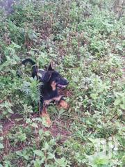 Senior Male Mixed Breed German Shepherd Dog | Dogs & Puppies for sale in Nakuru, Lanet/Umoja