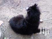 Young Female Purebred Chihuahua | Dogs & Puppies for sale in Mombasa, Majengo