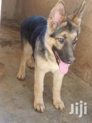 Young Female Purebred German Shepherd Dog | Dogs & Puppies for sale in Busia, Nangina