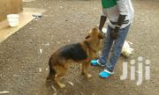 Adult Male Mixed Breed German Shepherd Dog | Dogs & Puppies for sale in Kajiado, Ngong
