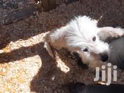 Baby Female Purebred Maltese | Dogs & Puppies for sale in Narok, Narok Town