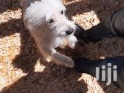 Baby Female Purebred Maltese Shih Tzu | Dogs & Puppies for sale in Narok, Narok Town