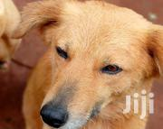 Adult Female Purebred | Dogs & Puppies for sale in Nyeri, Karatina Town