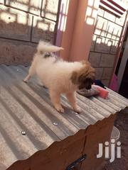 Young Female Purebred Chihuahua | Dogs & Puppies for sale in Nairobi, Embakasi