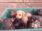 Baby Male Mixed Breed German Shepherd Dog | Dogs & Puppies for sale in Kajiado, Olkeri
