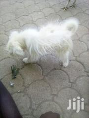 Young Female Purebred Airedale Terrier | Dogs & Puppies for sale in Kajiado, Kitengela