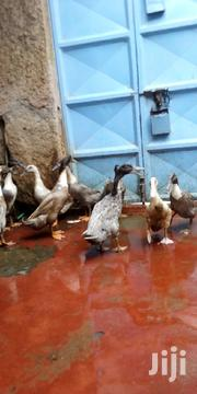 Indian Runners Ducks | Livestock & Poultry for sale in Nairobi, Kahawa West