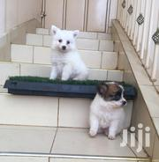 Baby Male Purebred Chihuahua   Dogs & Puppies for sale in Kisumu, Central Kisumu
