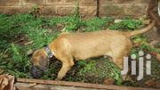 Young Male Purebred Boerboel | Dogs & Puppies for sale in Kisumu, Central Kisumu