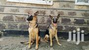 Young Female Purebred German Shepherd Dog | Dogs & Puppies for sale in Nairobi, Kasarani