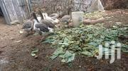 Goose / Geese On Sale 8 Pieces | Livestock & Poultry for sale in Machakos, Syokimau/Mulolongo