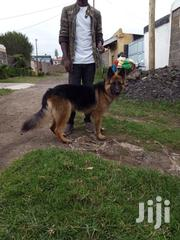 Young Male Purebred German Shepherd Dog | Dogs & Puppies for sale in Nakuru, Nakuru East
