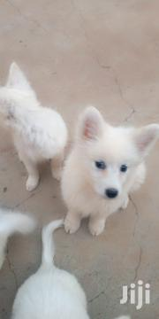 Young Female Purebred Japanese Spitz | Dogs & Puppies for sale in Nakuru, Nakuru East