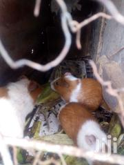Guinea Pig For Sell | Other Animals for sale in Nairobi, Riruta