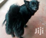 Young Male Mixed Breed Japanese Spitz | Dogs & Puppies for sale in Nairobi, Pangani