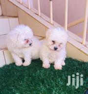 Baby Male Purebred Maltese | Dogs & Puppies for sale in Meru, Ruiri/Rwarera