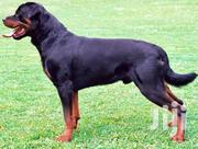 Young Male Mixed Breed Rottweiler | Dogs & Puppies for sale in Nairobi, Embakasi