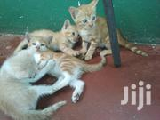 Baby Male Mixed Breed Mongrel (No Breed) | Cats & Kittens for sale in Mombasa, Mkomani