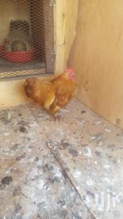 Pekin Bantam | Birds for sale in Mombasa, Majengo