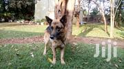 Senior Male Purebred German Shepherd Dog | Dogs & Puppies for sale in Kiambu, Kiuu