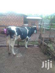 Freshian Cow | Livestock & Poultry for sale in Nyeri, Mukurwe-Ini Central
