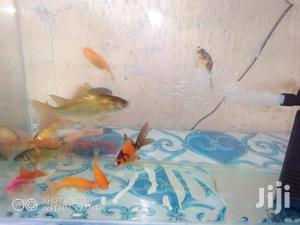 Gold Fishes and Koi Cups