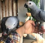 Hand Raised Congo African Greys Parrots for Sale | Birds for sale in Mombasa, Timbwani