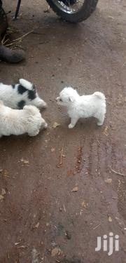 Baby Female Mixed Breed Japanese Spitz | Dogs & Puppies for sale in Nairobi, Kasarani