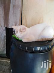 Young Female Mixed Breed Turkish Angora | Cats & Kittens for sale in Nairobi, Kasarani