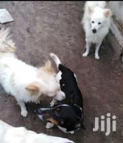 Young Female Mixed Breed Chihuahua | Dogs & Puppies for sale in Mombasa, Majengo