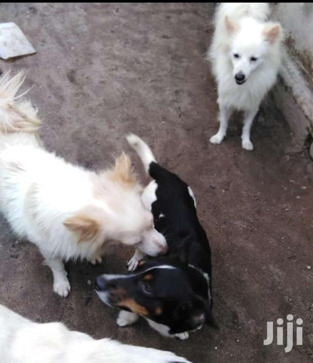 Archive: Young Female Mixed Breed Chihuahua