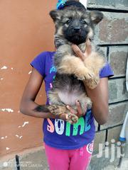 Young Female Purebred German Shepherd Dog | Dogs & Puppies for sale in Nakuru, Bahati