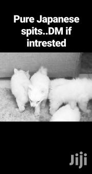 Baby Female Purebred Japanese Spitz | Dogs & Puppies for sale in Kiambu, Muchatha
