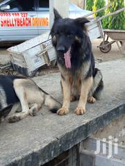 Adult Male Purebred German Shepherd Dog | Dogs & Puppies for sale in Mombasa, Likoni