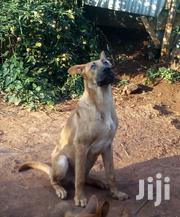 Young Male Mixed Breed German Shepherd Dog | Dogs & Puppies for sale in Nairobi, Karura